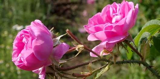 خواص گل سرخ در طب سنتی , گل محمدی