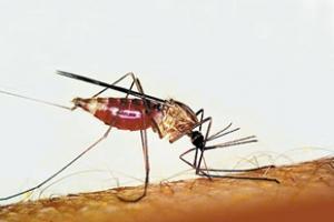 پشه آنوفل (عامل بیماری مالاریا)